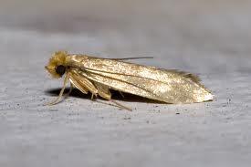 woo - fiber moth