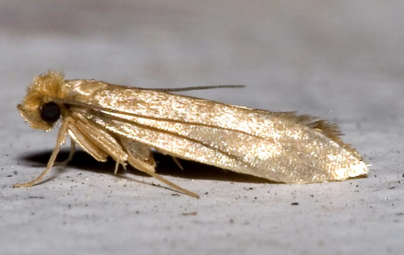 Image of Wool Moth or Clothes Moth