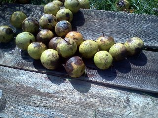 Whole Black Walnuts for Dyeing