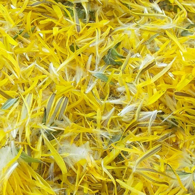 Dandelion blossoms for Natural Dyeing