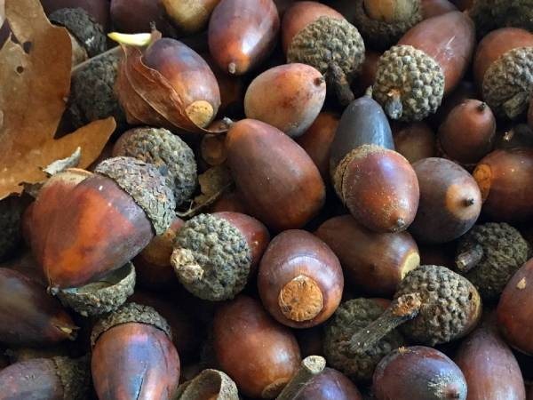 Making Natural Dyes with Acorns