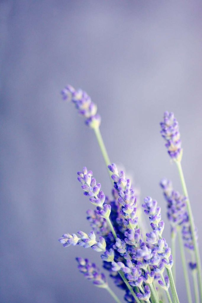 Wool moths are repelled by the smell of Lavender