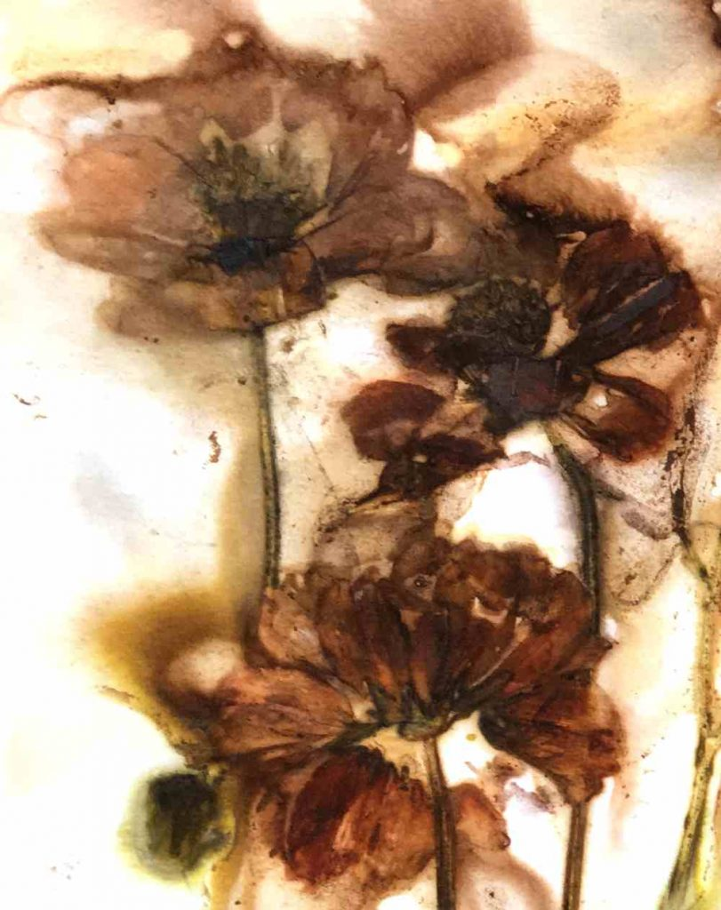 Closeup of Cosmos flowers eco printed on paper