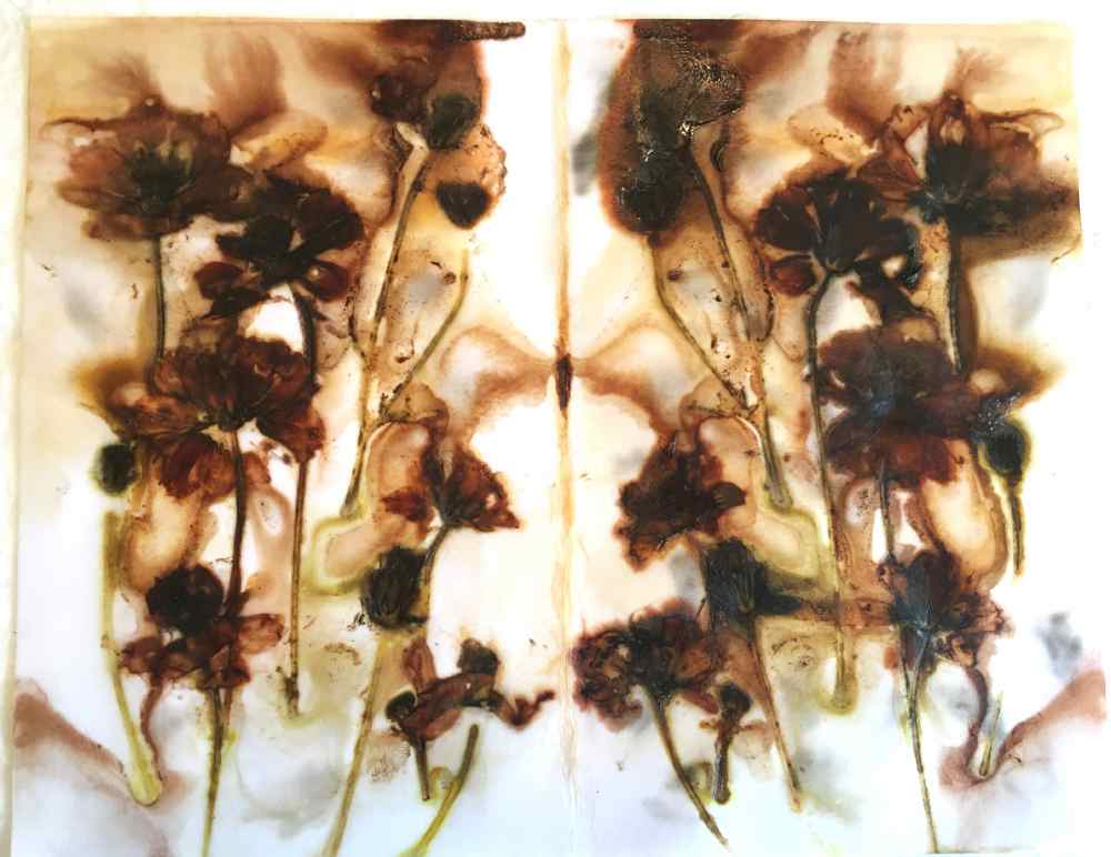 Cosmos flowers eco printed on paper with rust water