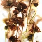 Cosmos flowers ecodyed on paper
