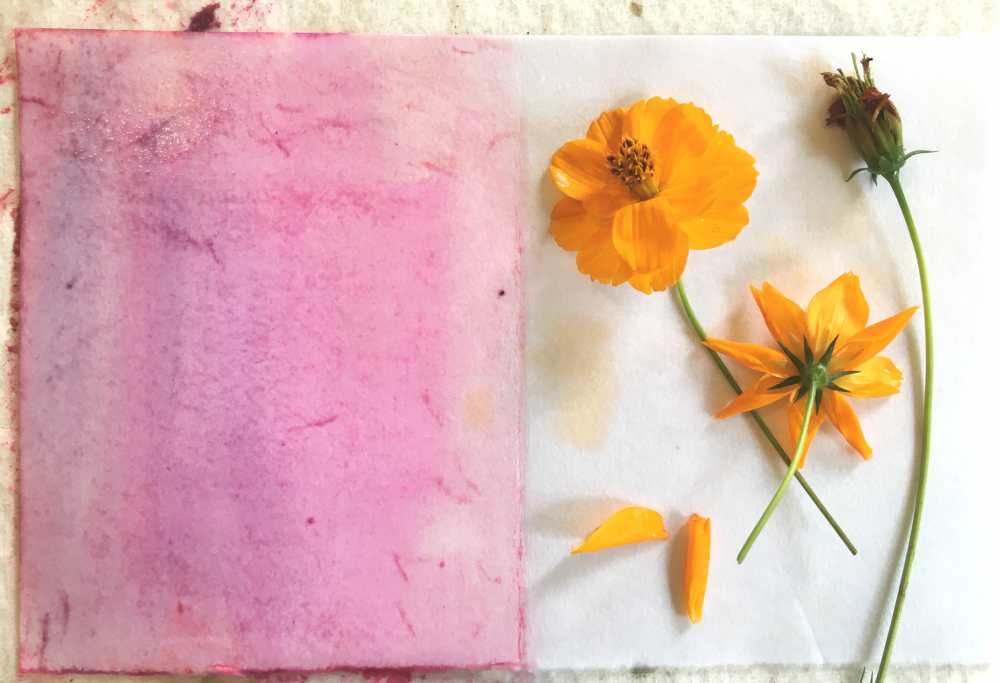 Cosmos flowers with watercolor paints before eco printing