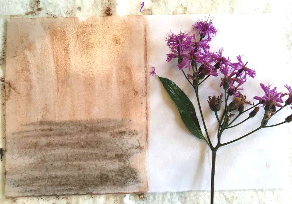 Ironweed flowers eco prints on paper