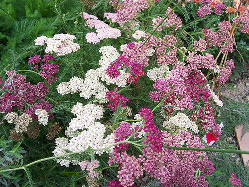 Treating Fibroids Naturally With Yarrow