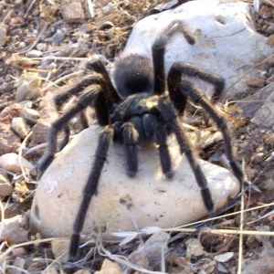 industries_health_research and development_ Tarantula venom could provide relief from Irritable Bowel Syndrome_banner