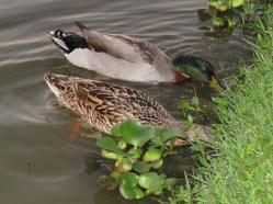 Duck Date Night Dinner