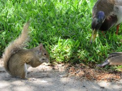 Squirrel joins mallards for the feast!