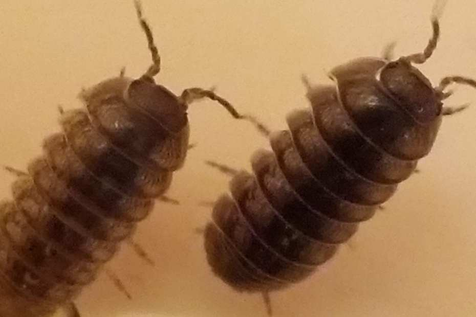 roly pollies from ficarrofarms.com
