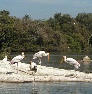 Pelicans of Ranganathittu