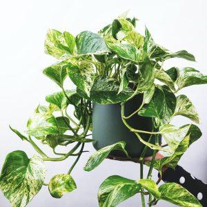Photo of Devil's Ivy