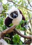 [19] curious lemur