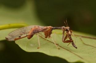 Dicromantispa interrupta Order; Neuroptera, Family; Mantispidae