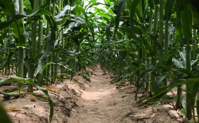 Corn Growing and Soil Moisture Sensors