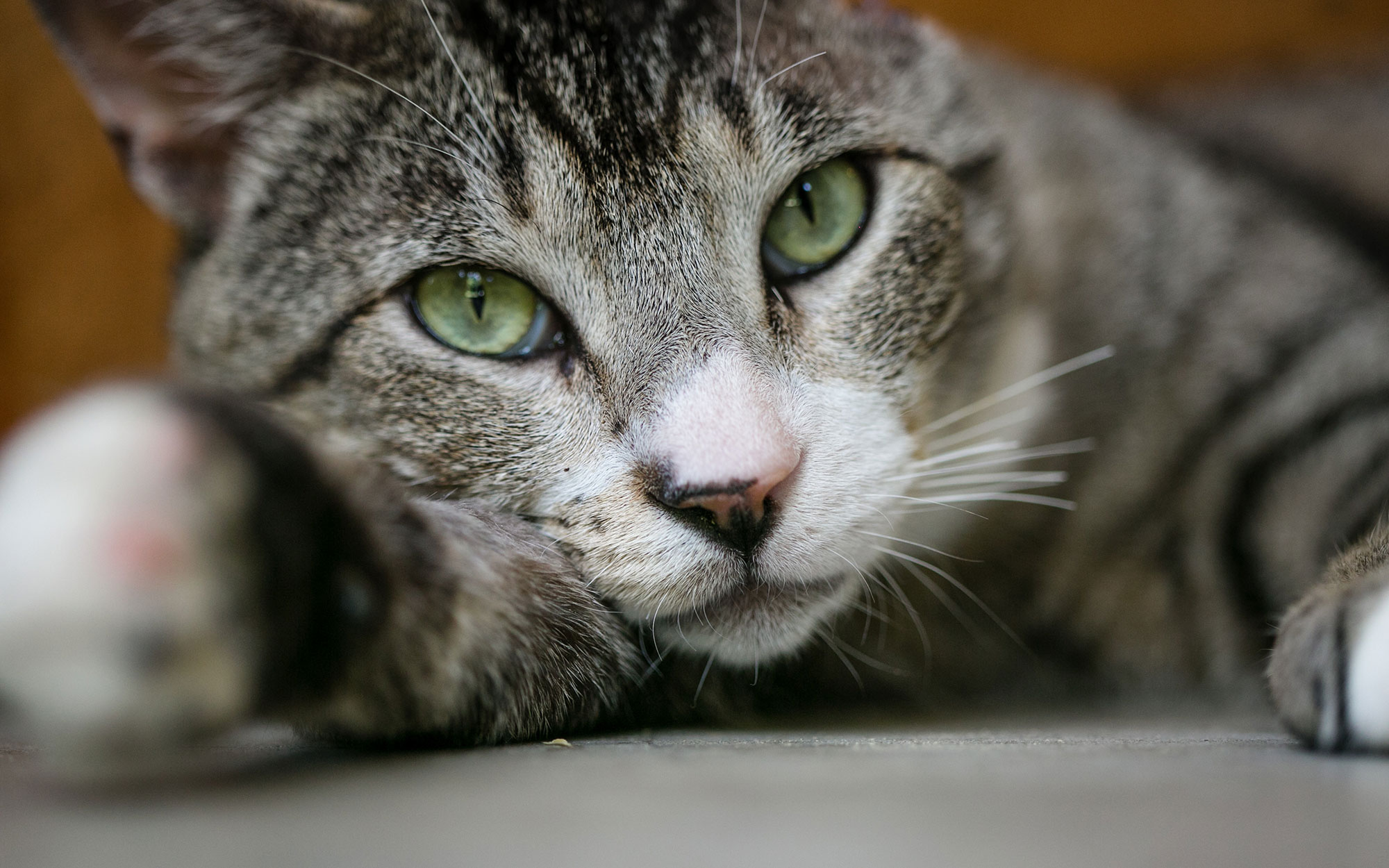 A grey tabby with a white mouth