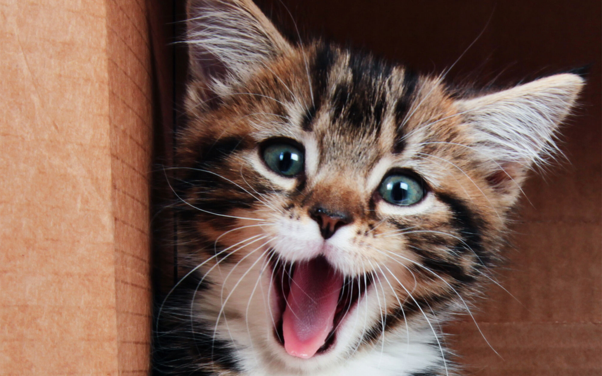 A tabby kitten with its mouth open.
