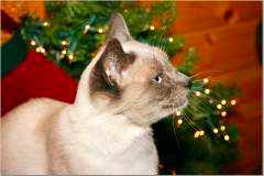 Friday - My blue eyes and Siamese markings make me the most beautiful cat!