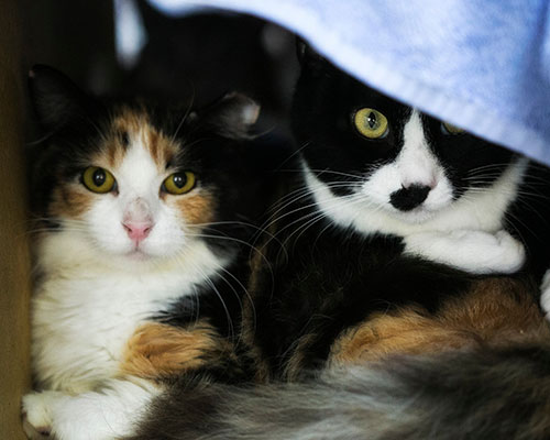 A calico cat and a tuxedo cat resting beside each other