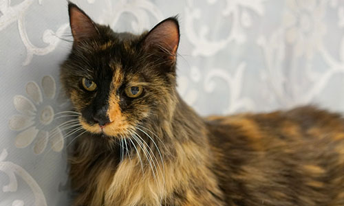 A long haired black and orange cat