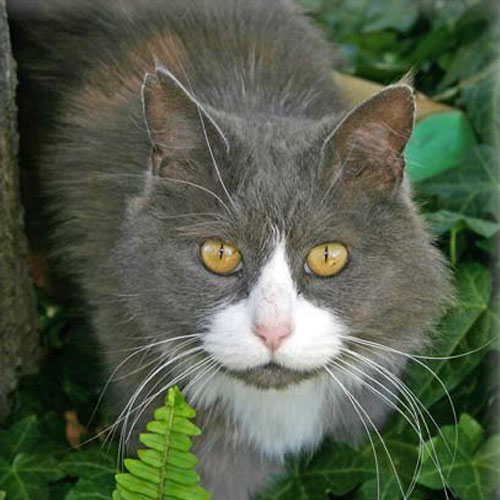 A grey and white cat crawling through plants.