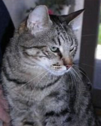 Adult tabby cat Simon
