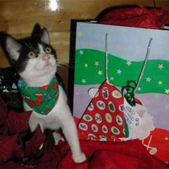 A black and white cat wearing a bandana standing next to Christmas gifts.
