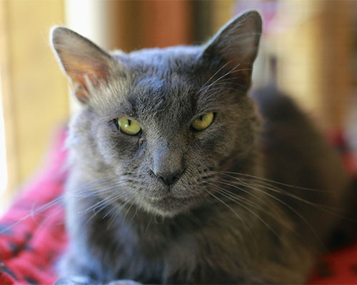 A grey cat with yellow eyes.