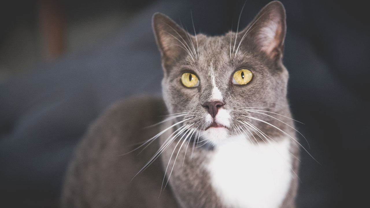 A grey and white cat with yellow eyes.