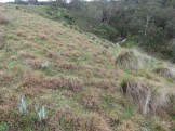 Kangaroo grass on the slope