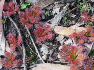 Scented Sundew leaves