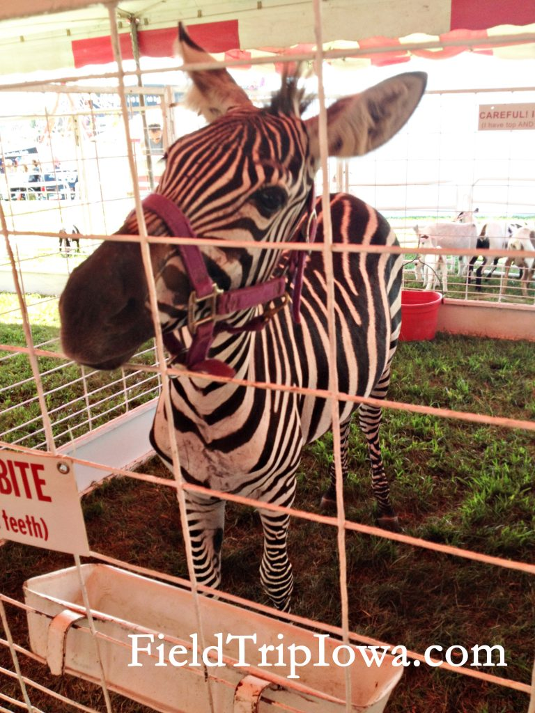 Zebra at the Iowa State Fair Petting Zoo