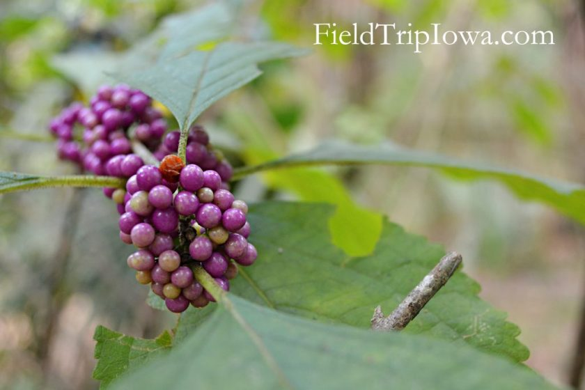 Purple seeds cluster together on a branch at Ocala National Forest Alexander Springs Timucuan Indian Nature Trail