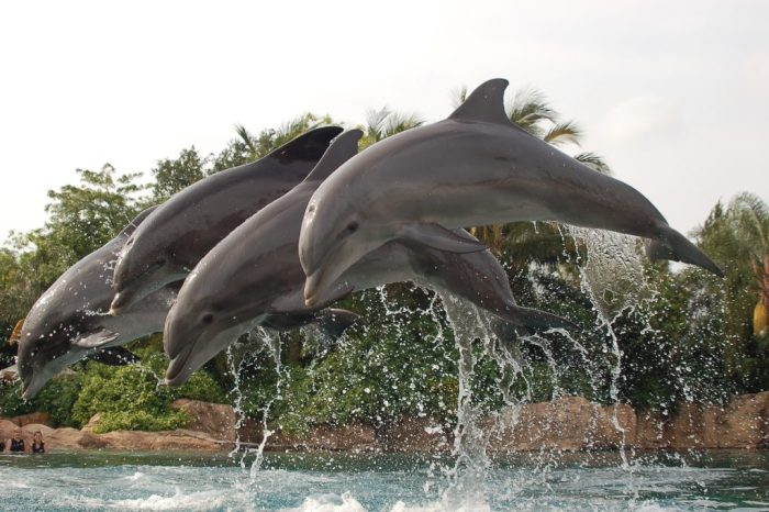 Three dolphins leap and play in the air. Read more of our Family Review of Discovery Cove Florida