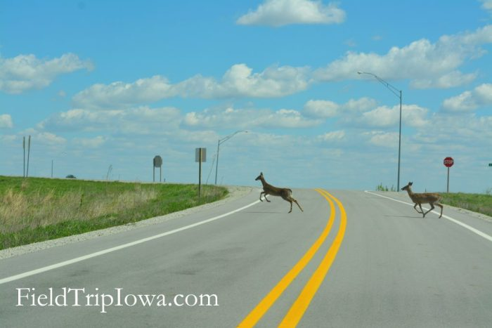 Deer leaping across a paved road at Neal Smith National Wildlife Refuge