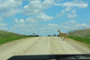 Deer crossing a gravel road at Neal Smith National Wildlife Refuge