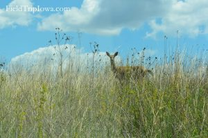 Deer in prairie grass at Neal Smith National Wildlife Refuge