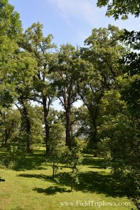 Shady Oaks trees at The Big Treehouse in Marshalltown Iowa