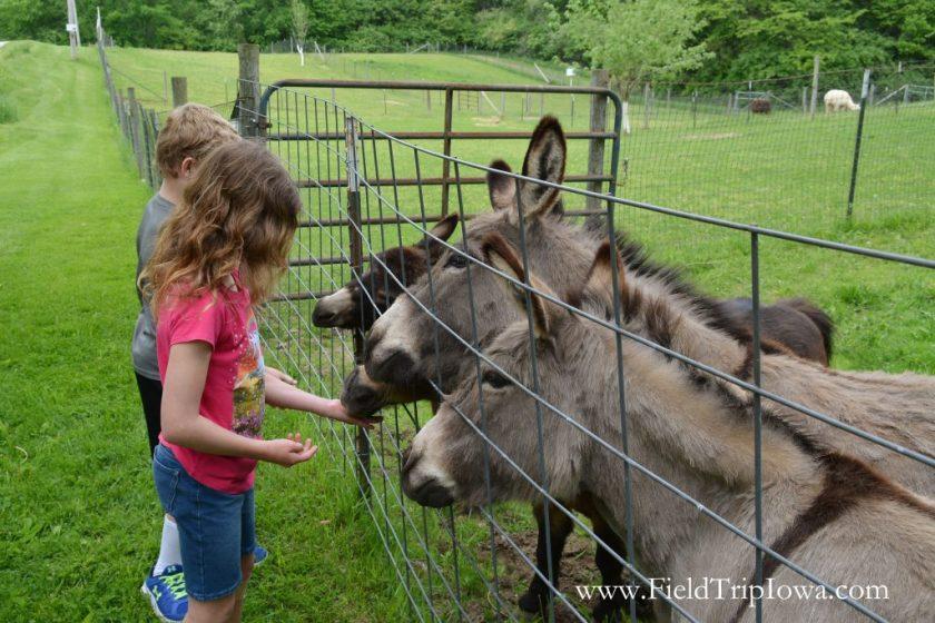 Children feed Donkeys at Hidden Paradise Alpacas Farm in IL