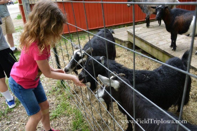 Girl feeds goats at Hidden Paradise Alpacas Farm in IL