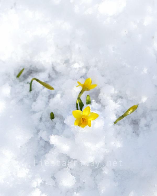 daffodils-in-the-snow | fiestafriday.net