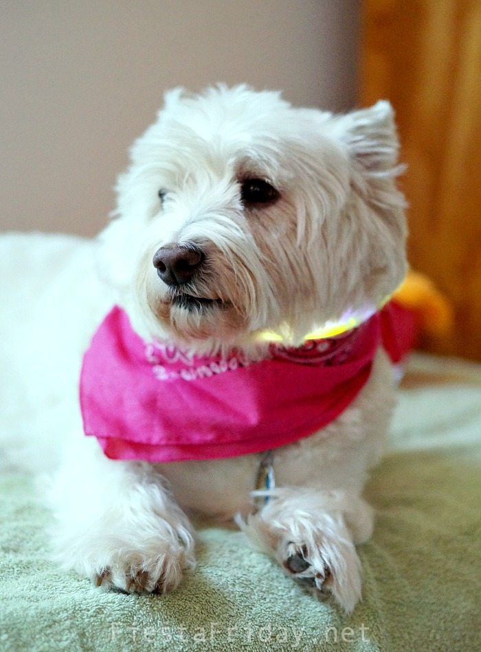 Skye is a Westie given up by her owners and was placed in a shelter that was unfortunately NOT a no-kill shelter. She was considered a senior at 8 years old and after a month at the shelter, we finally adopted her. She has anxiety issues and needs a lot of attention, but we absolutely LOVE her!!