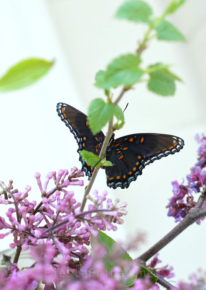 red-spotted purple butterfly | FiestaFriday.net