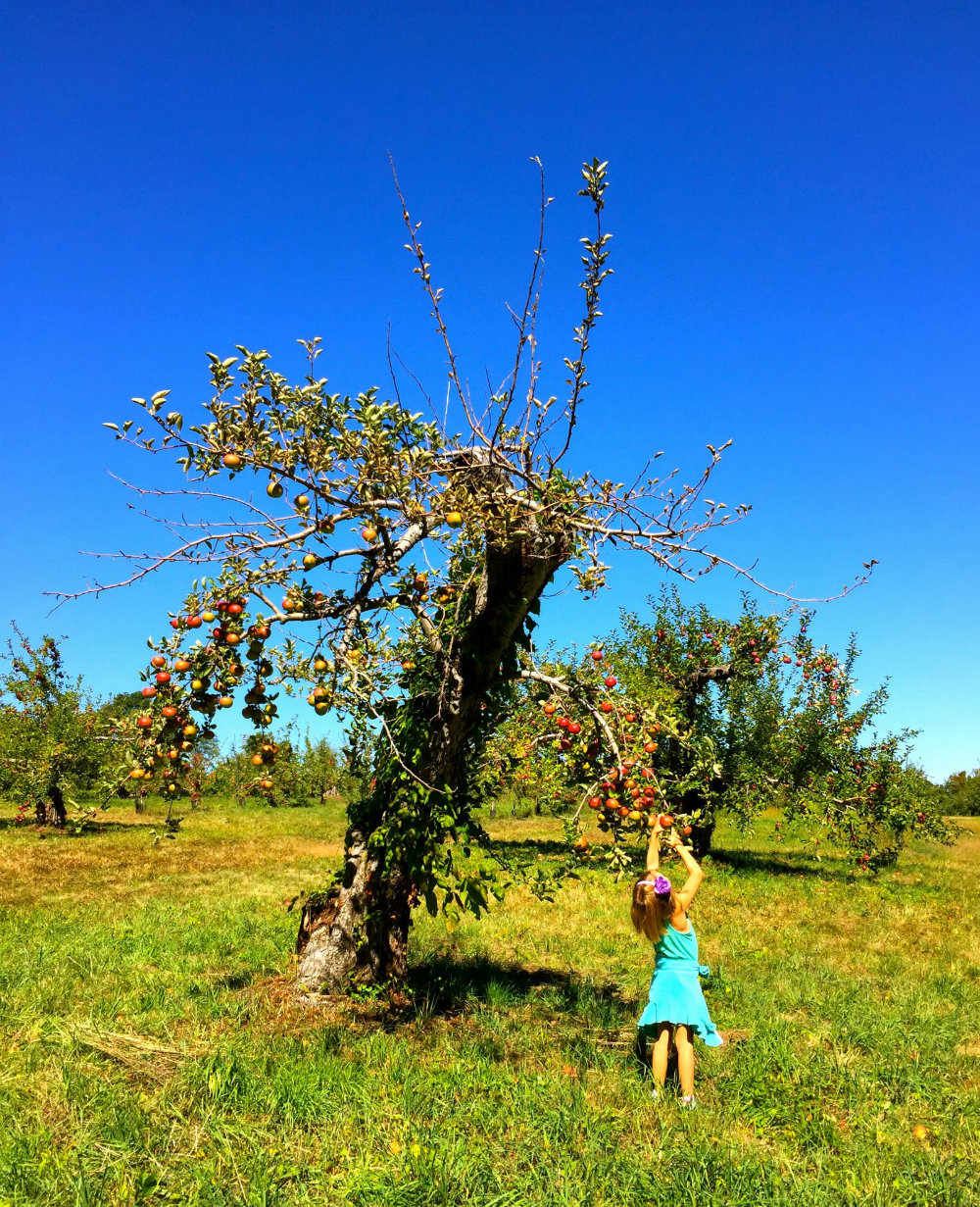 No Frills Apple Picking at Wilkens Fruit and Fir Farm