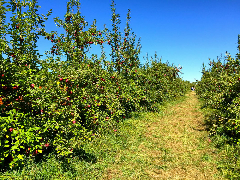 Apple orchard at Wilkens farm in Westchester, NY