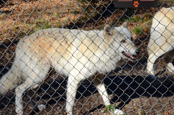 wolf-conservation-center-DSC_5363
