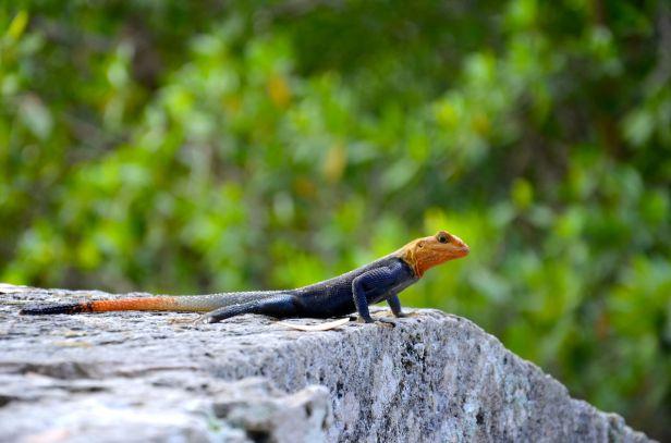 lizard-vizcaya-miami-DSC_5565