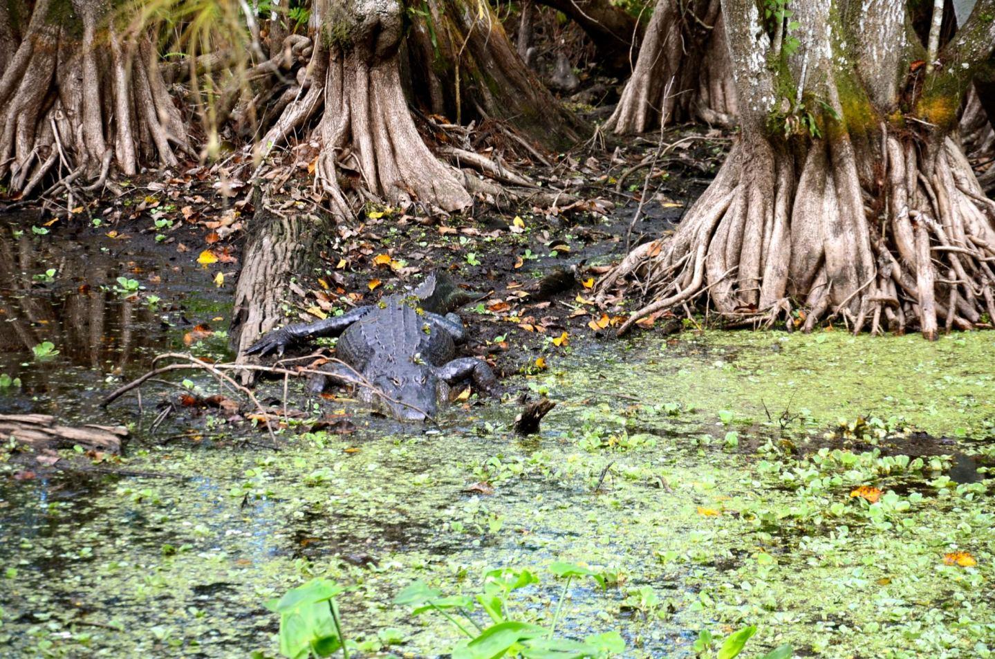 Corkscrew Swamp Sanctuary: A Wildlife Gem in Naples, Florida